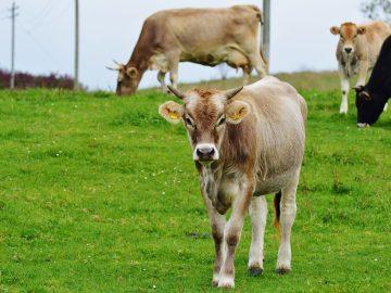 cow-982331_1920