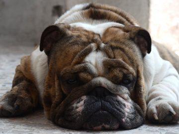 Obesidade cães